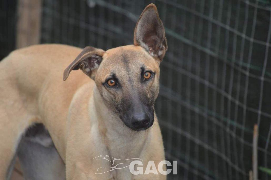 Image result for Sardinian greyhound
